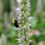Bee visiting Anise Hyssop