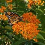 monarch_on_milkweed2
