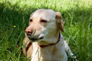 Labrador in grass