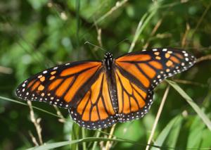monarch_web